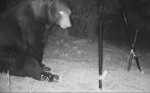 Georgia Black Bear
